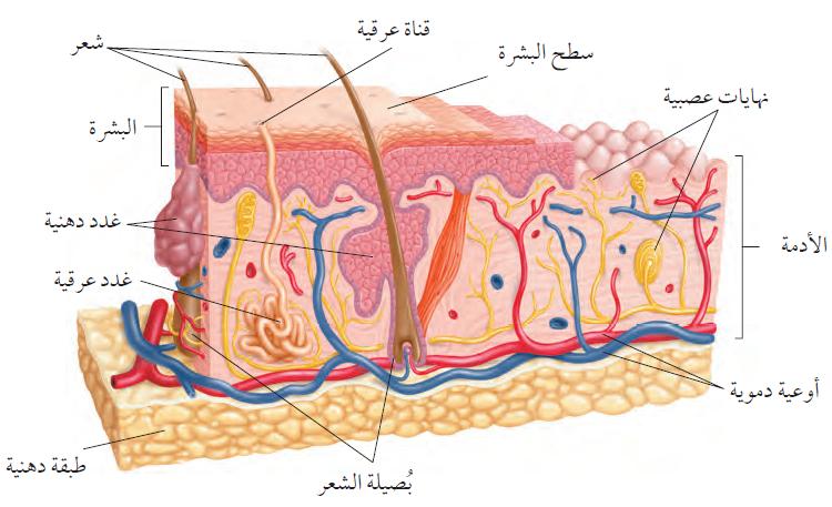 منهاجي - متعة التعليم الهادف - تركيب الجلد