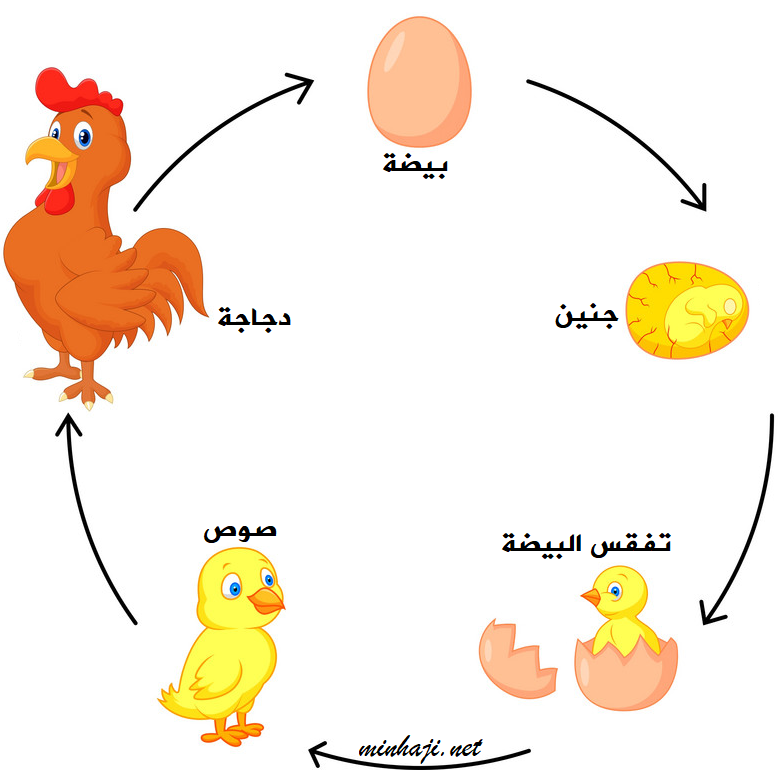 مراحل نمو دورة حياة الدجاجة